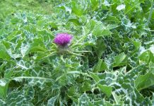 learn much more about milk thistle tea